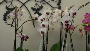 Comment entretenir Orchidée